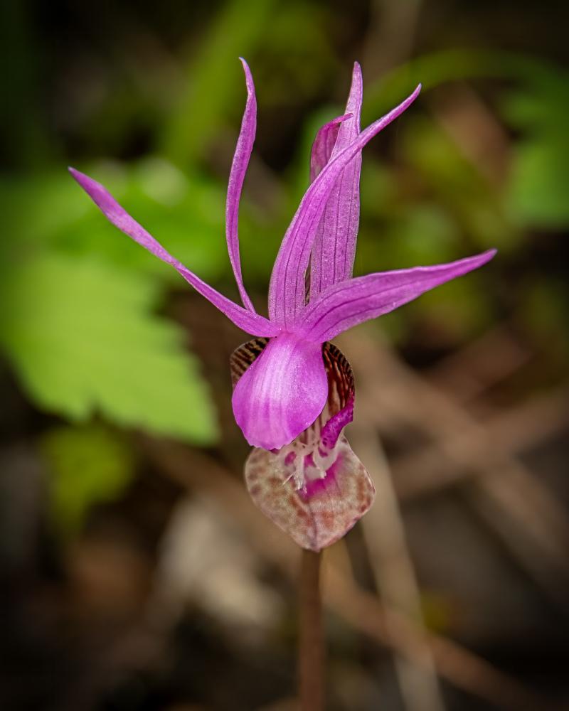 """Fairy Slipper (aka Calypso Orchid)"""