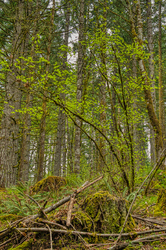 """""""Forest Service Road to the Old Growth Forest"""""""