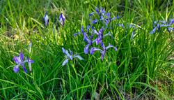 """Wild Iris Display"""