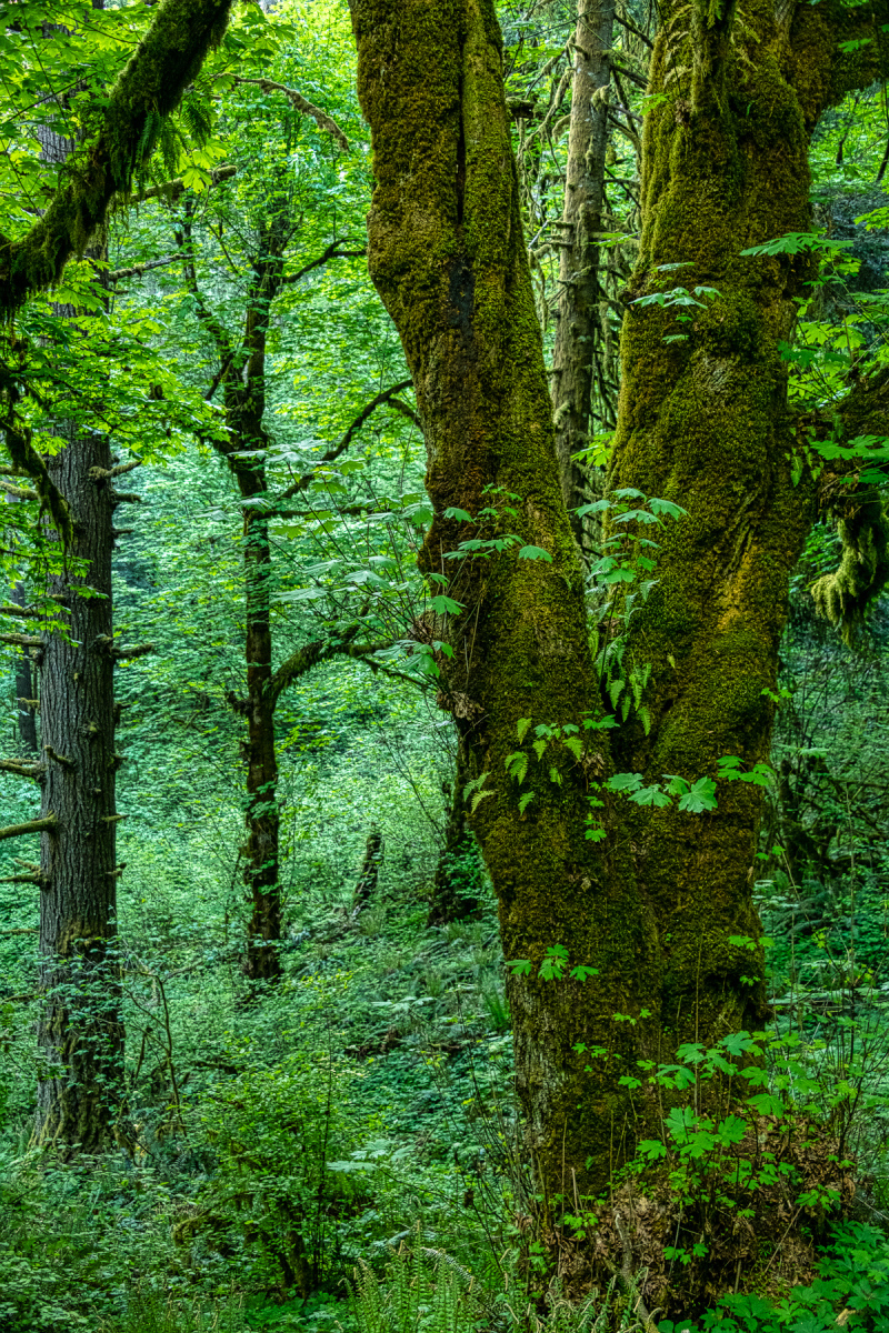 """""""Like a Jungle (Old Growth Forest)"""""""