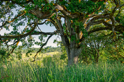 """Wabi Tree on a Hot Summer Morning"""