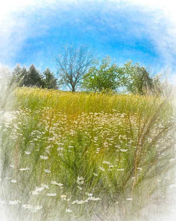 """""""Daisies on a Ridge, artistic"""""""