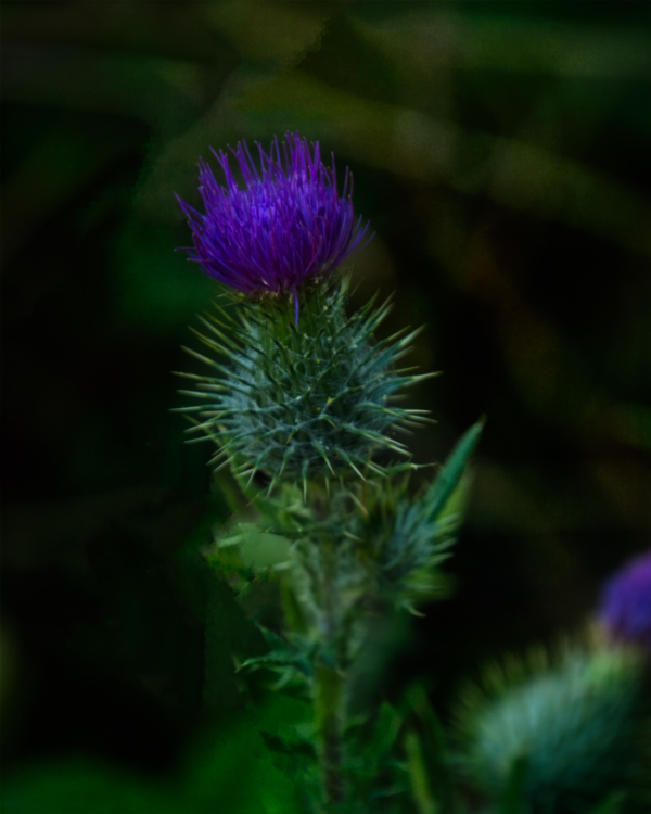 """Thistle in Witham Hill Natural Park"""