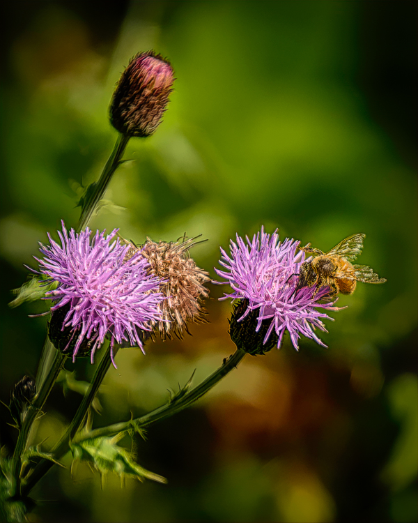 """Bee in Thistles, painterly"""
