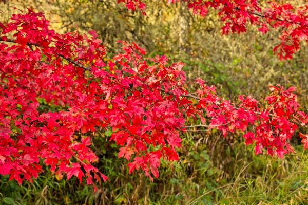"""Corvallis Red"""