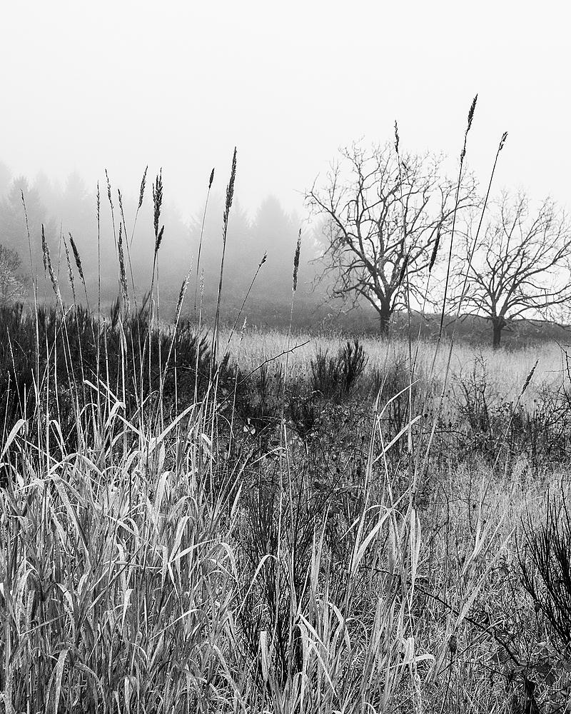 """Grass, Trees, Fog, BW"""