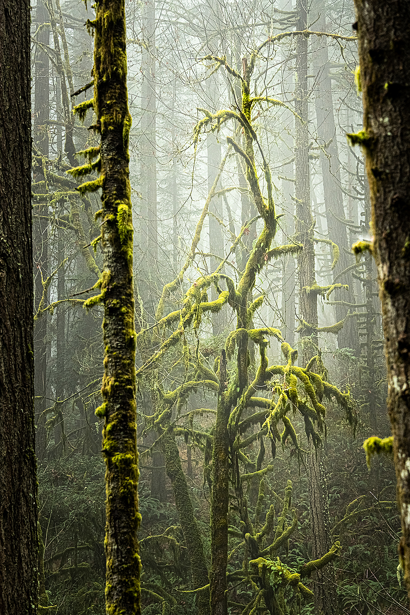 """Natural Frame (Old Growth Forest)"""
