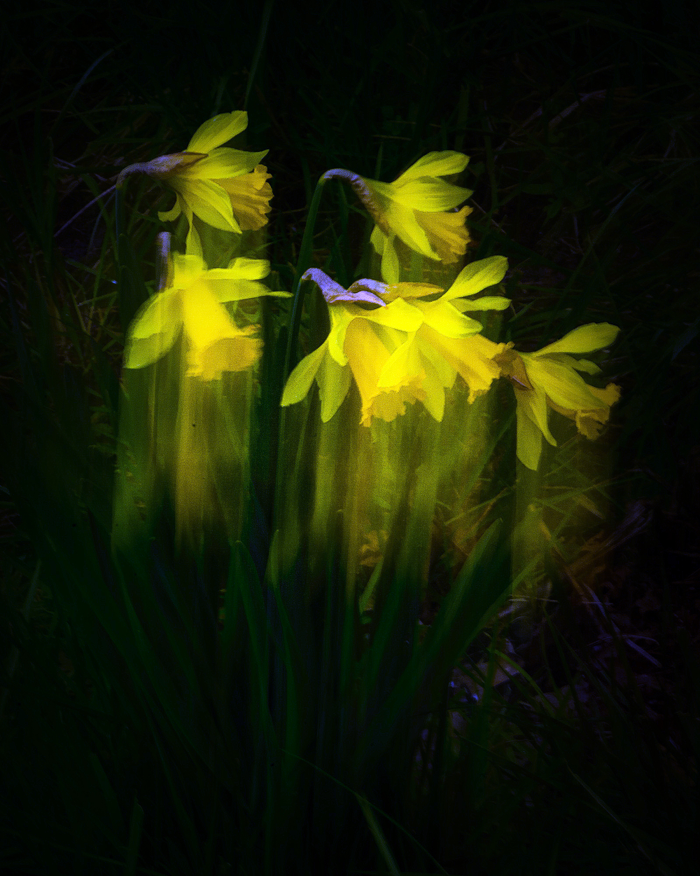 """Daffodils On the Move, Painterly"""