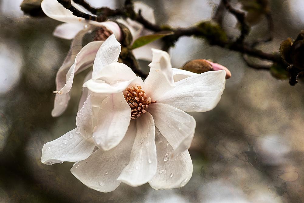 """""""Star Magnolia"""""""