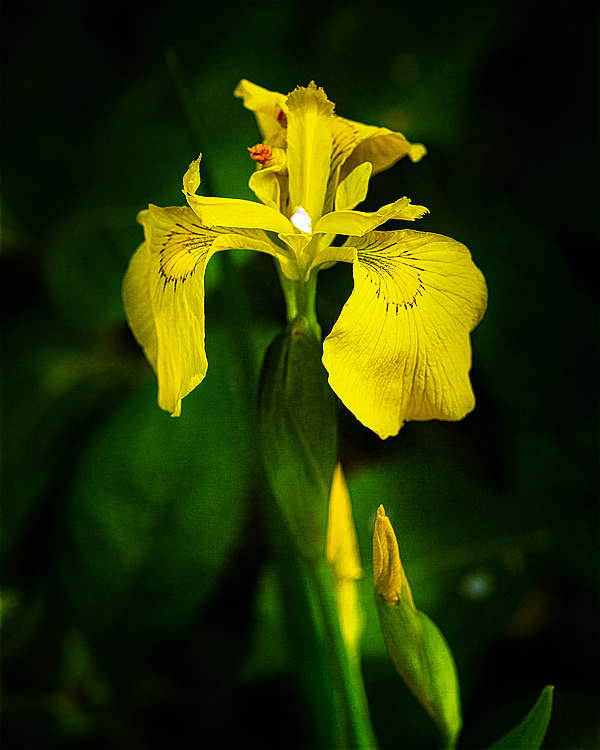 """Ellie's Yellow Iris"""
