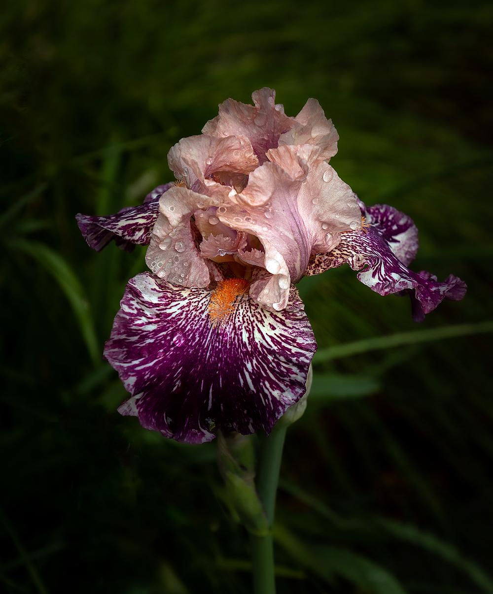 """""""Neighbor's Iris"""""""