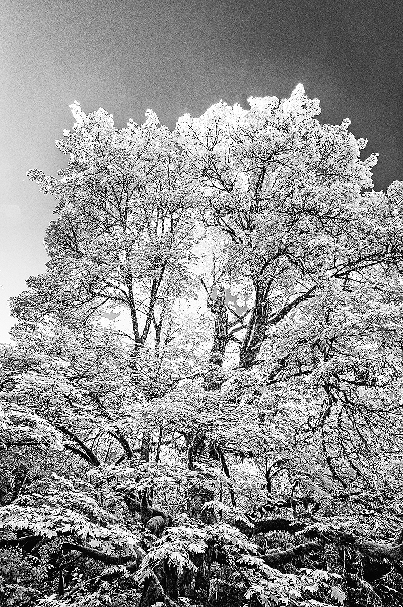 """""""Infrared (IR) Tree; Fitton Green Parking Lot"""""""