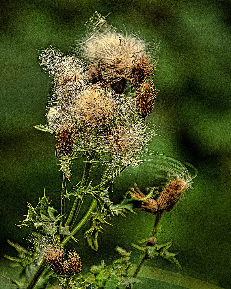 """""""Dying Thistles"""""""