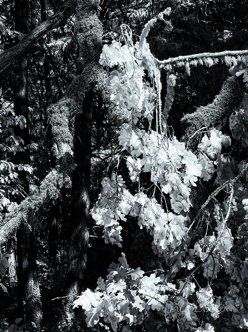 """Dead Leaves, Silver Selenium Tone - IR"""