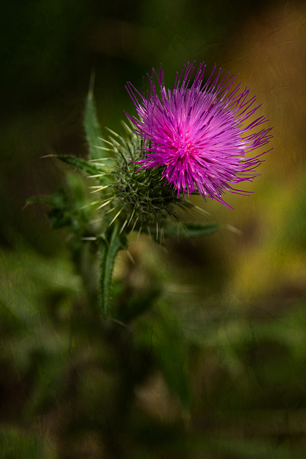 """The Last Thistle of Summer"""