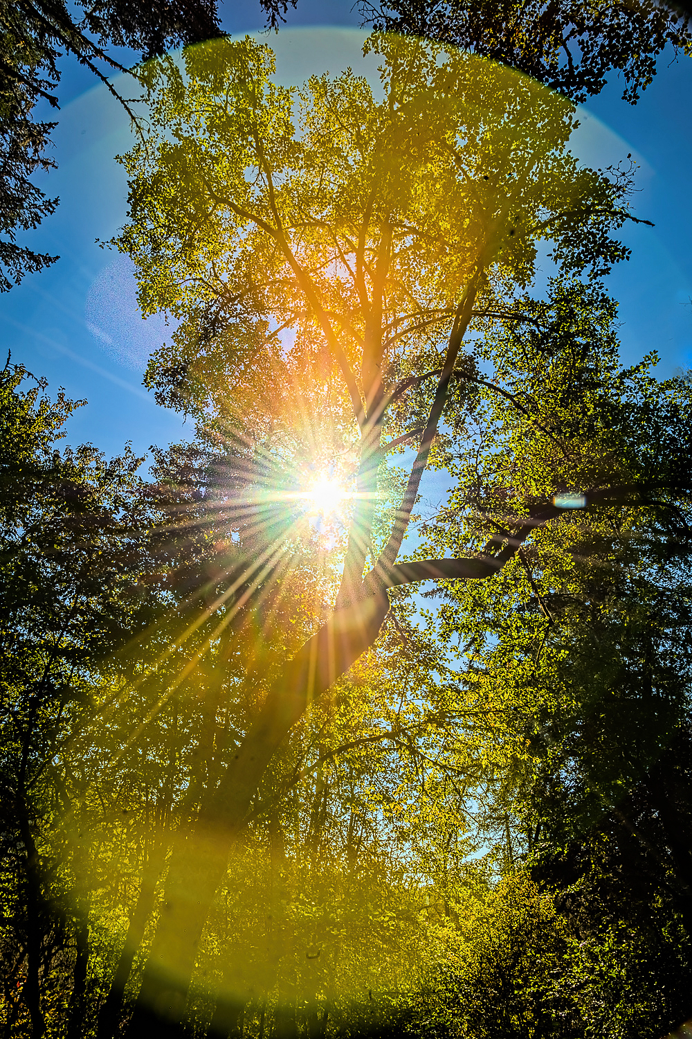 """Oak Creek Sunburst Inside Flare"""