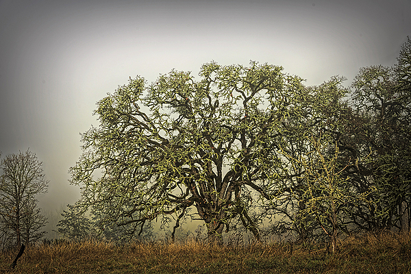 """""""Iconic Big Tree in the Fog"""""""