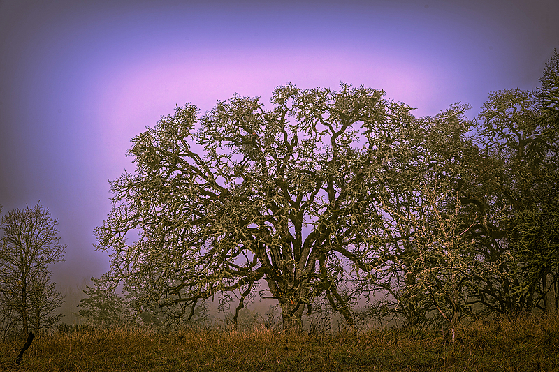 """Color Graded Big Tree in the Fog"""