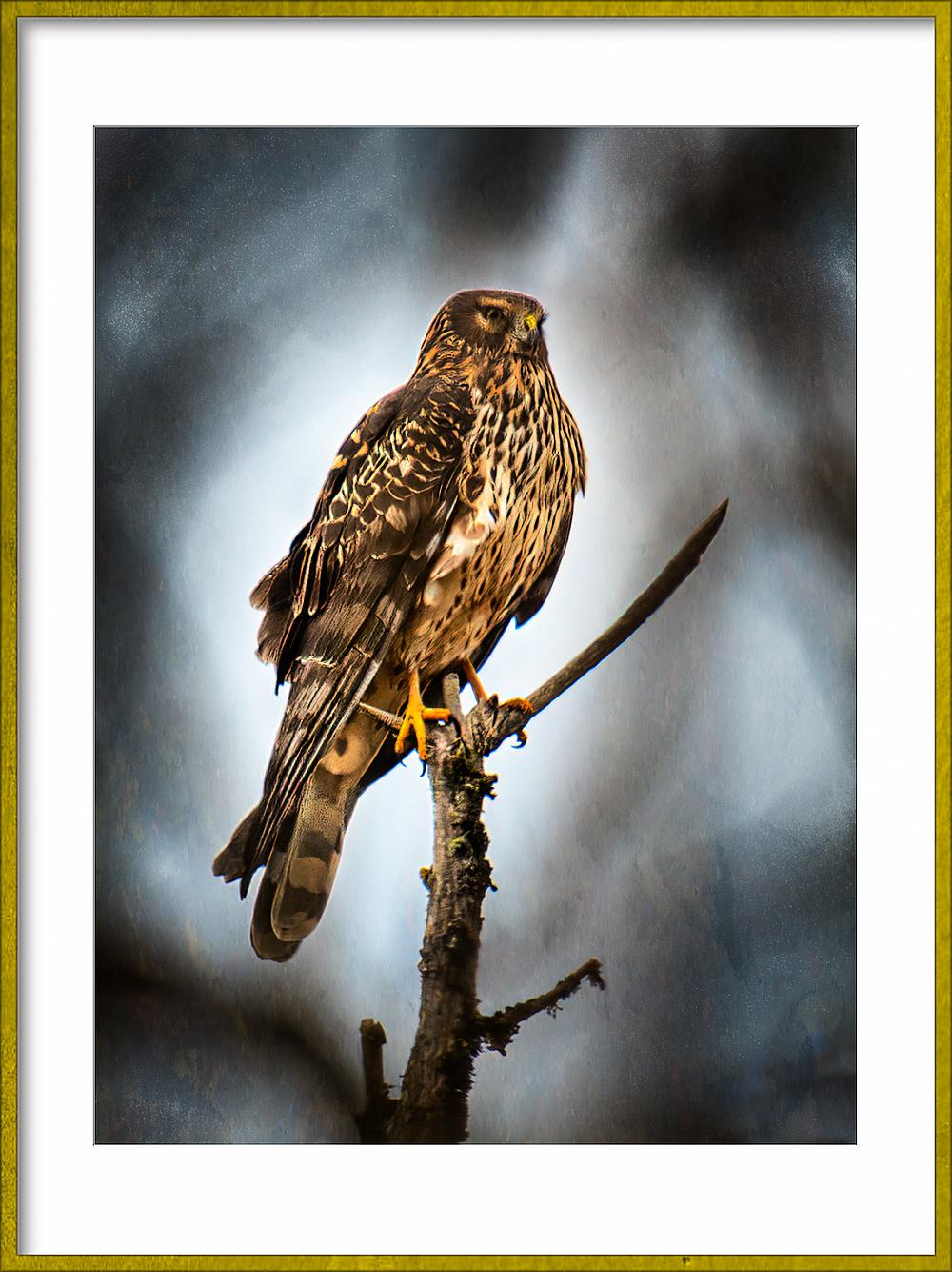 """Hawk at Finley Wildlife Refuge"""