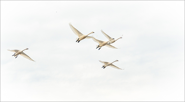 """""""Swans In Flight"""""""
