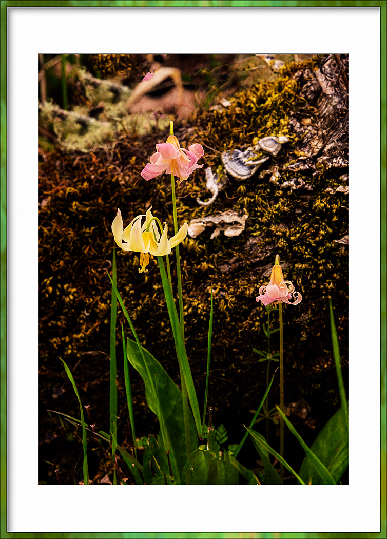 """""""More Fawn Lilies"""""""