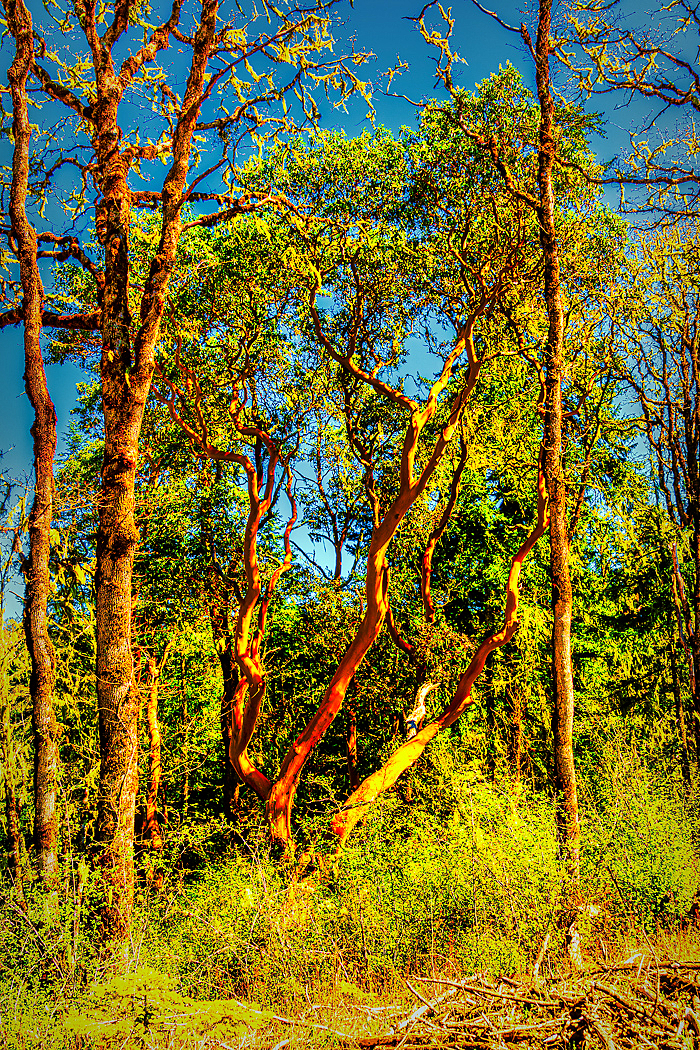 """""""Majestic Madrone"""""""