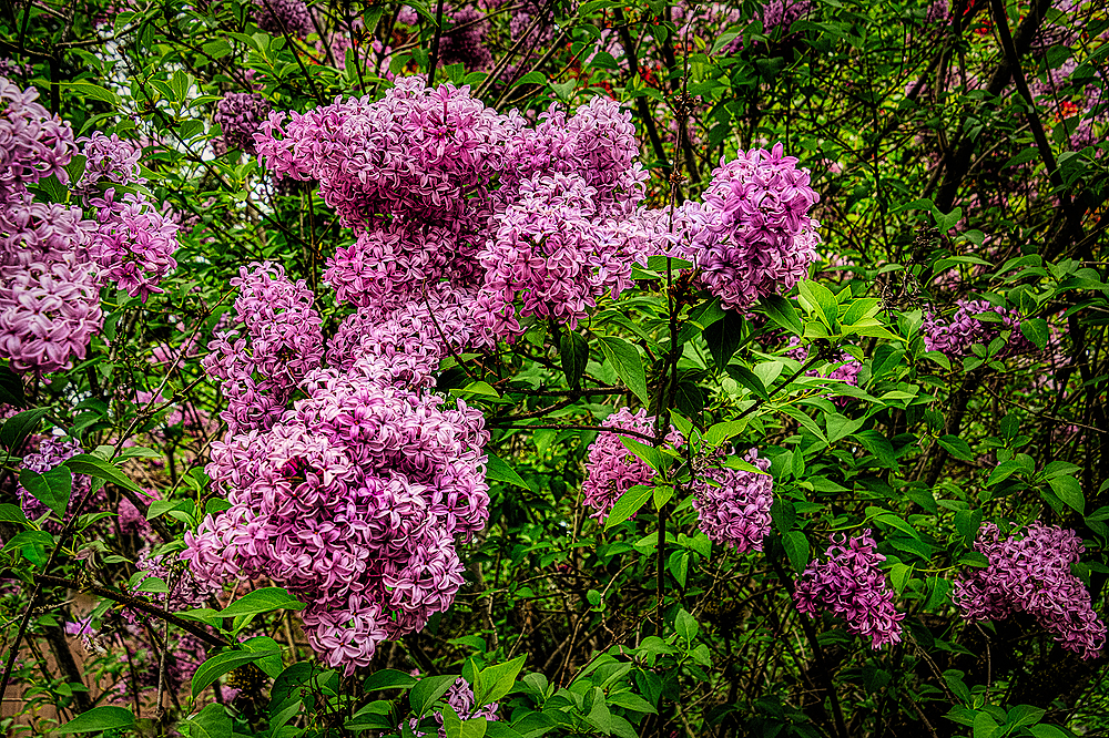 """A Gathering of Lilacs"""