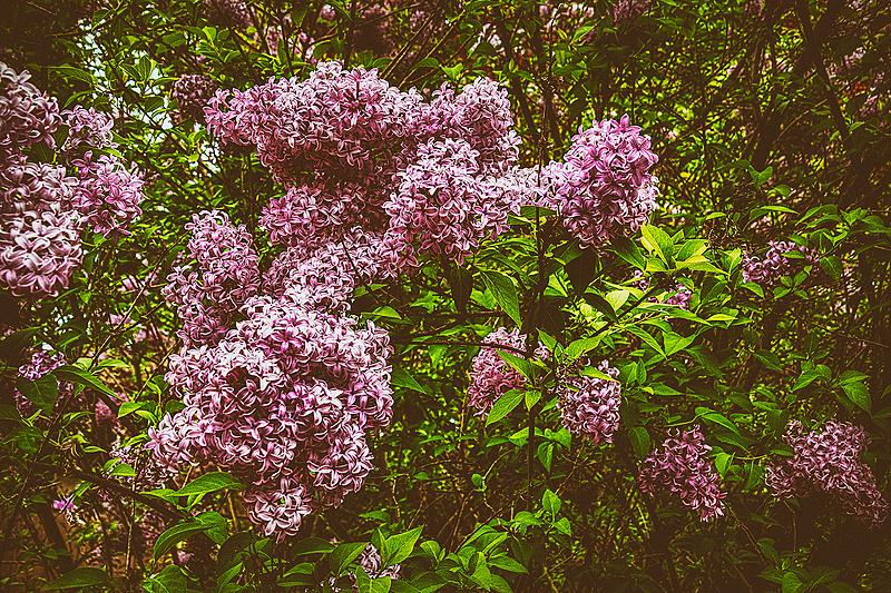 """Vintage Lilacs"""