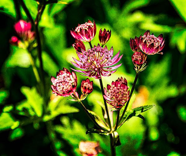 """""""Cool Flower (Sebright Gardens)"""""""