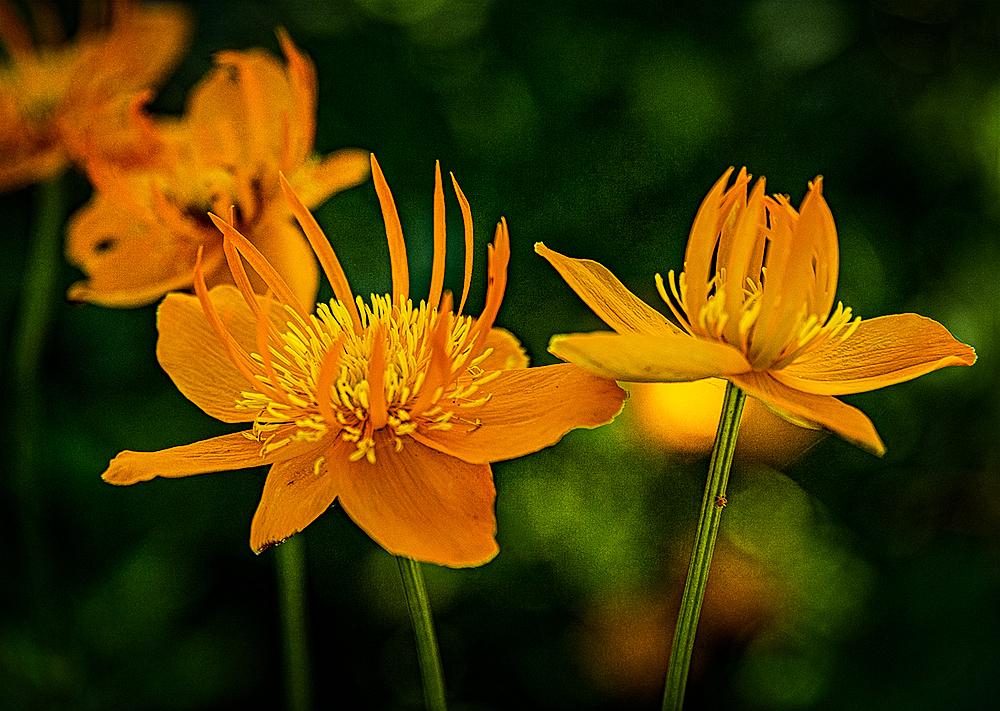 """""""Orange Magic (Sebright Gardens)"""""""