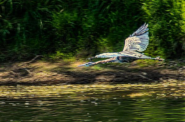 """""""Great Blue Heron in Flight"""""""