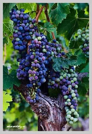 fall grapes turn color