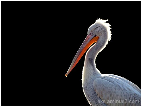 Excellency Pelican