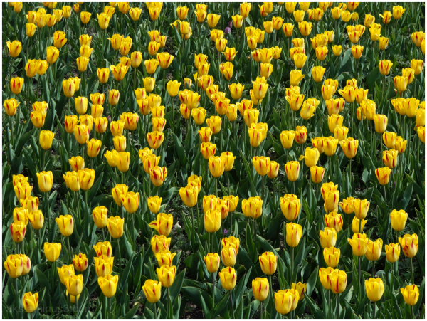 Vernal tulips