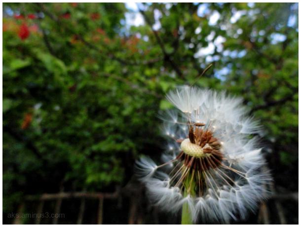 Dandelion for summer
