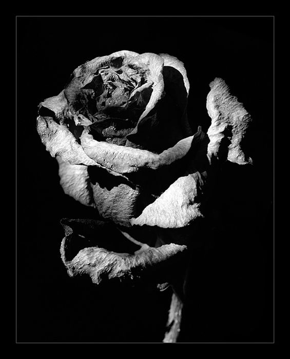 Black rose by DenisSm