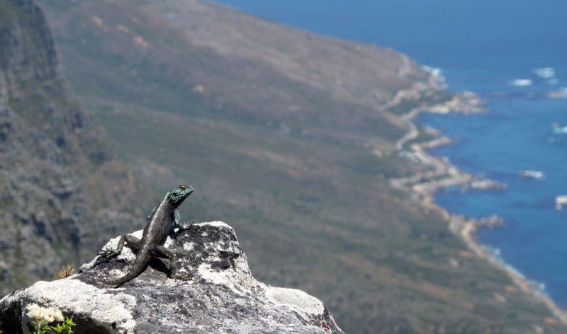 Smiling Lizard Atop Table Mountain, Cape Town
