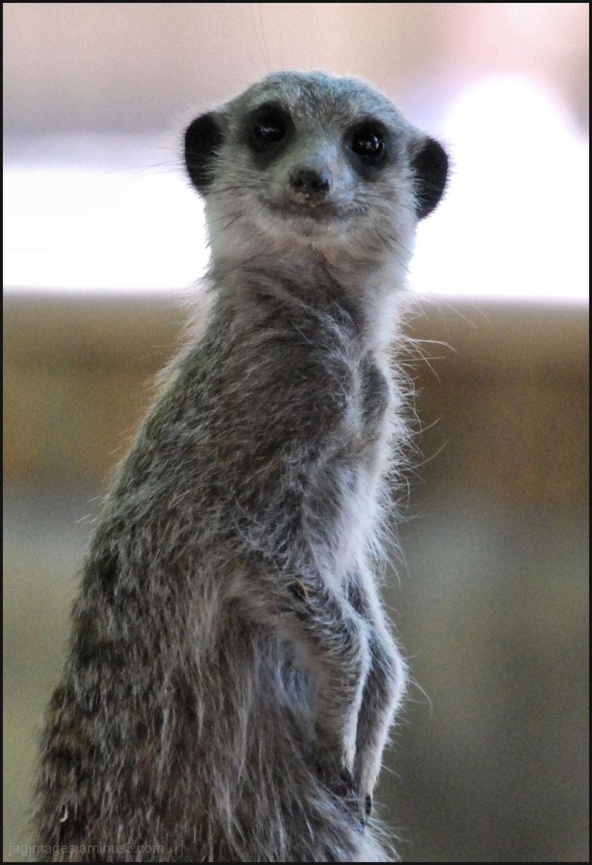 Mr Meerkat