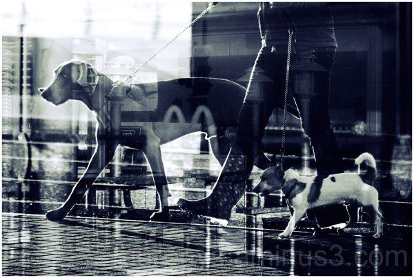 Dogs.Walks. Lady Blackpool.B+W.