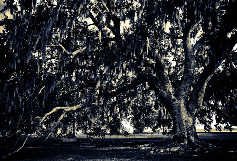 Oaks in The Winter