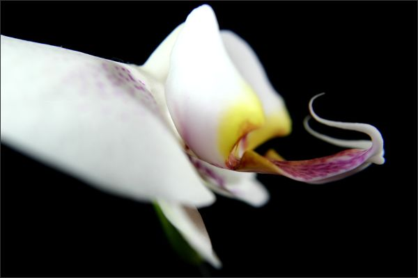 Orchid (II)