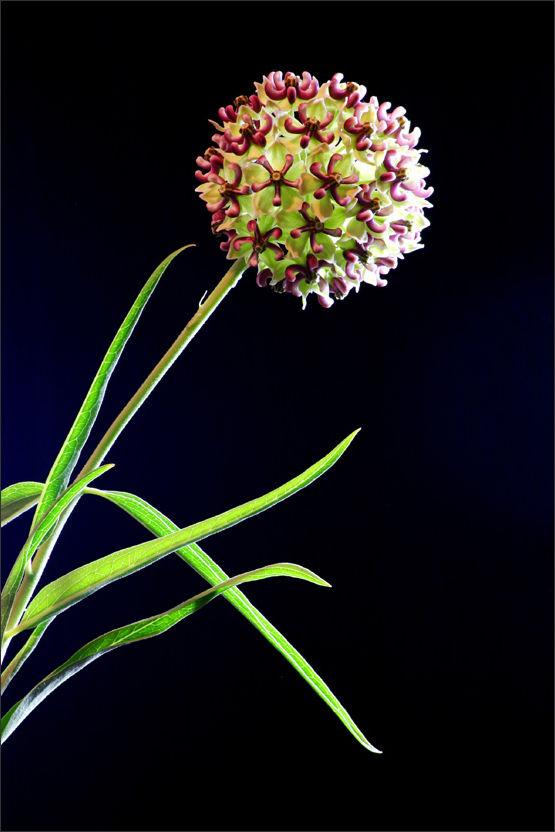 Spider Milkweed