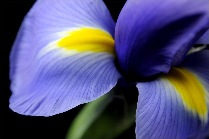 Blue Iris (3/3)