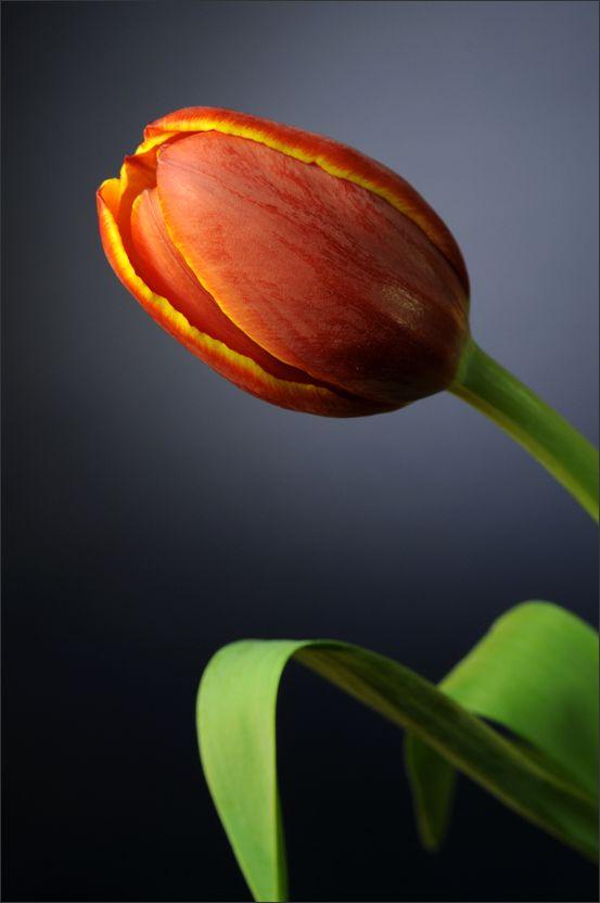 Tulip (1/3)