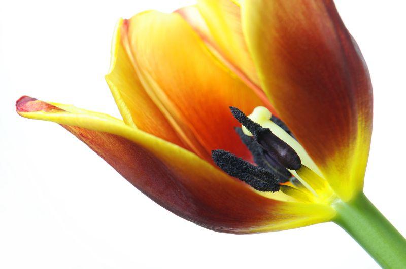 Tulip (2/3)