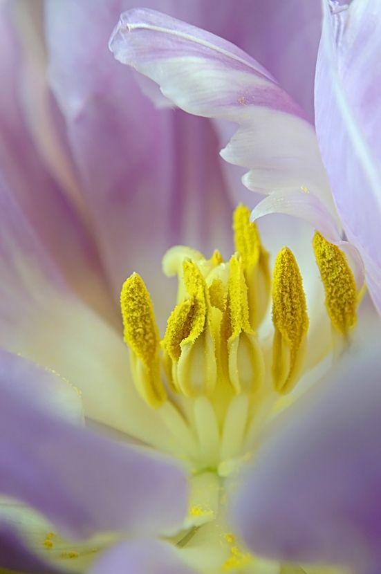 Tulip Details (2/4)
