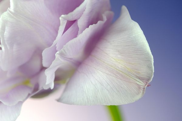 Tulip Details (3/4)