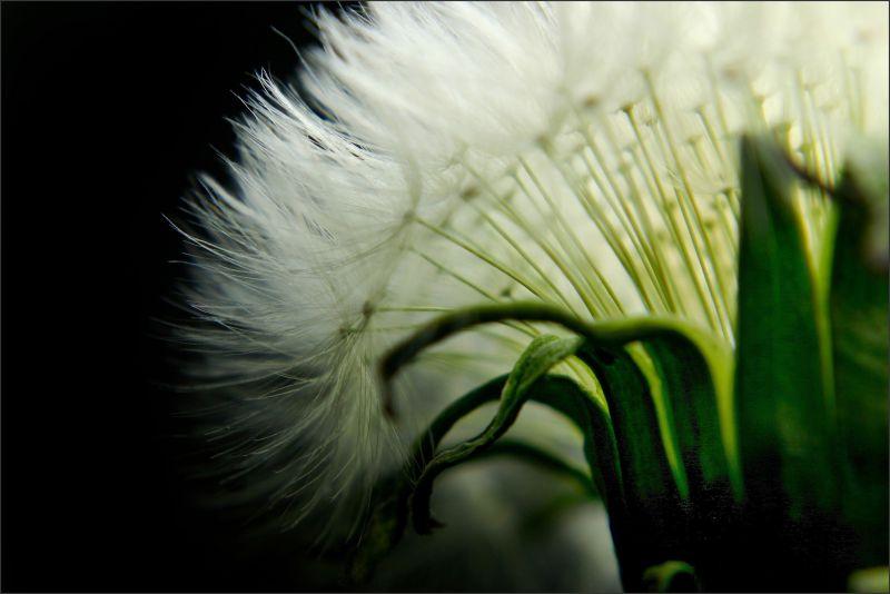 Dandelion Detail 2