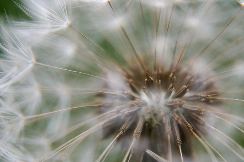 Dandelion Detail 3