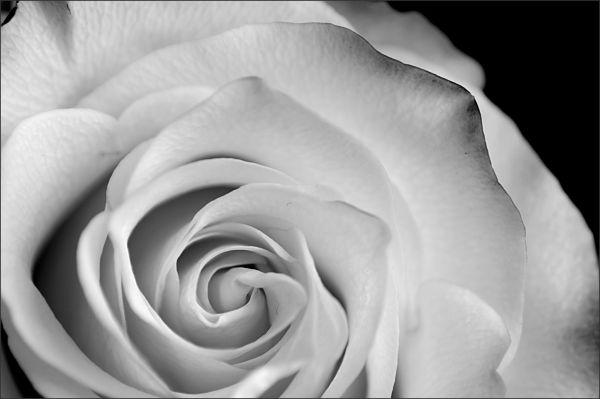 Rose (1/5)